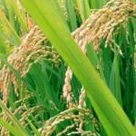 Daerah Ingin Pemberdayaan Penangkar Benih Lokal