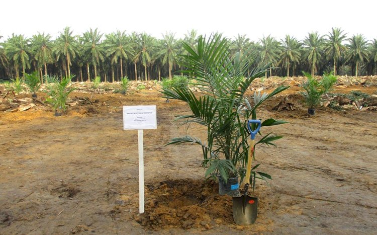 Dana Replanting Kebun Sawit Hibah BPDPKS Meningkat 30 Juta per Hektar